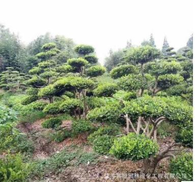 树桩9公分粗庭院黄杨造型树 绿色系黄杨盆景桩