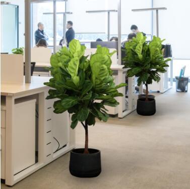 琴叶榕盆栽办公室内大型绿植观叶四季常青吸甲醛