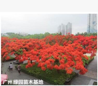 凤凰木苗优质凤凰落叶红花楹凤凰木盆栽带土