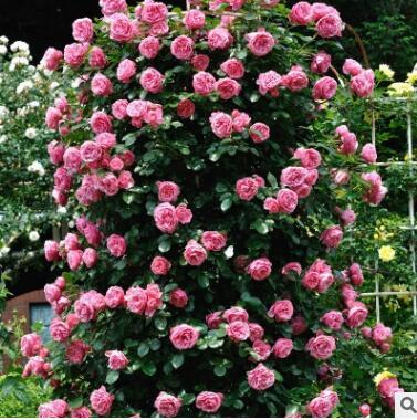 蔷薇花苗当年开花多花盆栽地栽庭院阳台爬藤玫瑰月季
