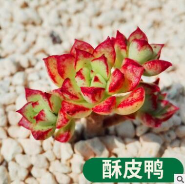 多肉植物 酥皮鸭 盆栽绿植花卉盆花组合多肉办公室盆景