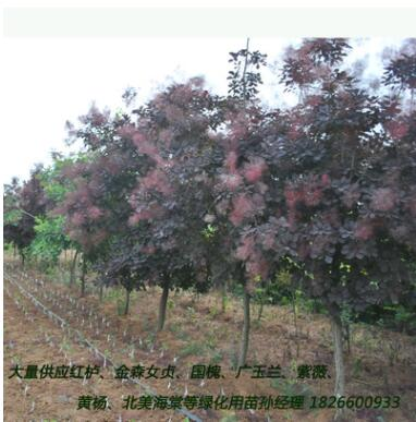 大量供应美国红栌优质园林绿化行道树 山东红栌小苗苗乔木花灌木