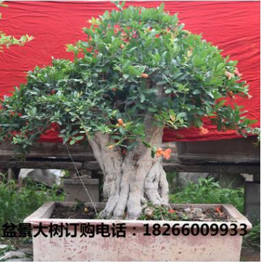 苗圃直销1-20公分大果甜石榴树苗批发果树苗木盆景石榴树桩盆景