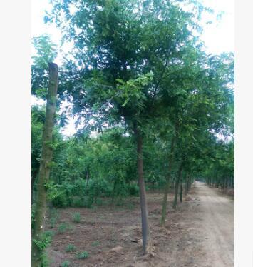 工程园林绿化皂角树规格齐全皂荚树绿化园林苗木皂角树
