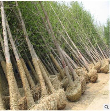园林工程绿化银杏景观树苗 实生银杏树20公分花卉苗木