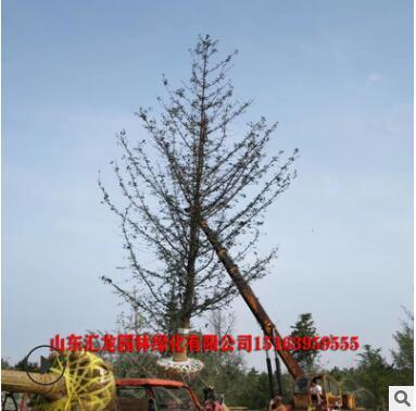 中国银杏之乡基地现货批发15、18、20、25、28、30公分银杏树