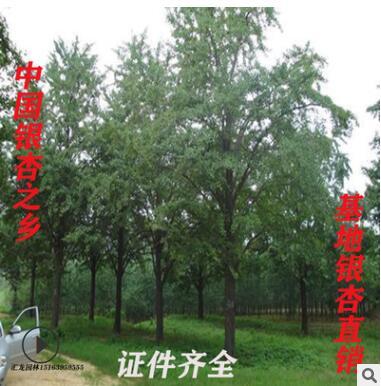 银杏之乡基地批发银杏树园林绿化银杏树 银杏树