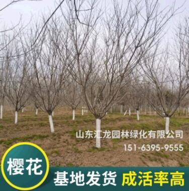 基地种植樱花树 庭院园林绿化批发樱花树 厂家供应嫁接樱花树