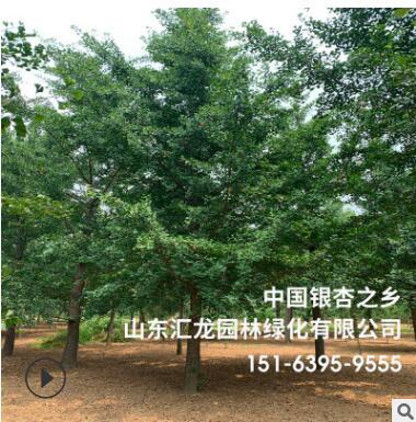 银杏树白果树厂家供应 行道庭院工程园林绿化 基地种植银杏白果树