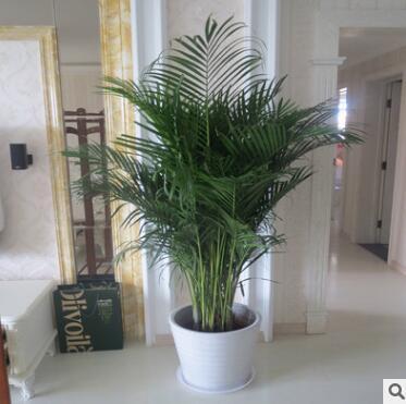 散尾葵盆栽室内绿植大型袖珍椰子苗凤尾竹夏威夷新房办公客厅植物