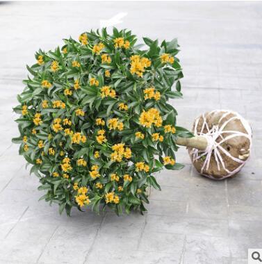 桂花树苗庭院嫁接桂花盆栽室内绿植浓香型盆景四季桂花树植物