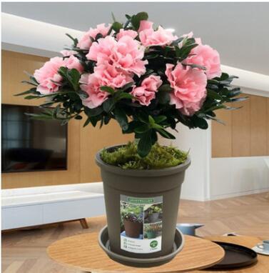 新品西洋杜鹃花苗小桃红粉色容易爆盆的花卉好养易活四季开花盆栽