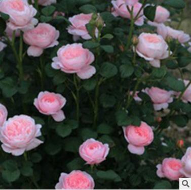 基地直销批发欧洲月季月季树藤本月季多品种月季等庭院别墅花卉