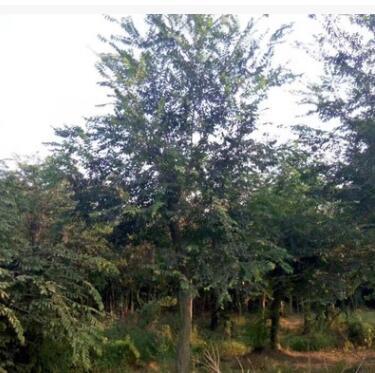 基地批发优质朴树苗 朴树小苗 工程绿化苗 规格齐全