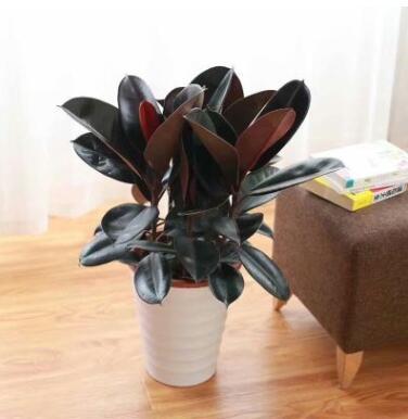黑金刚橡皮树植物室内客厅绿植花卉盆栽吸甲醛观叶绿色植物橡胶树