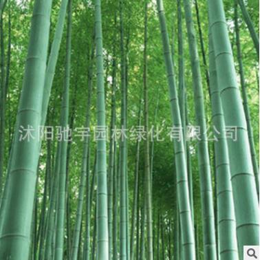 竹子苗批发 绿化工程苗刚竹 竹子苗庭院绿化青竹四季常青早园竹