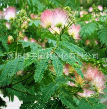 合欢树苗 庭院花卉植物芙蓉树 绒花树苗合欢苗合欢小苗规格齐全