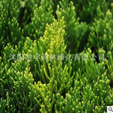 基地直销龙柏小苗色块灌丛绿化植物造型龙柏球园林公路用规格齐