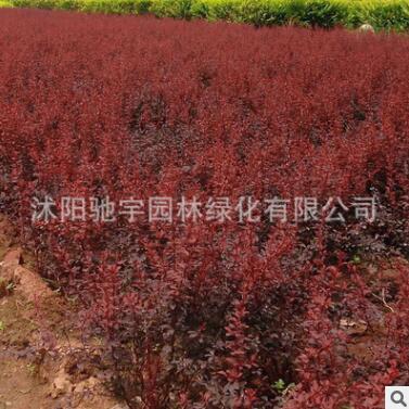 批发优质红叶小檗 紫叶小檗 色块工程专用红叶小波小苗 规格齐全