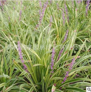 金叶麦冬地被植物金边麦冬绿化苗别墅用苗工程苗麦冬苗