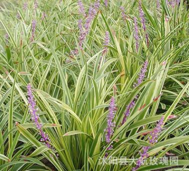 直销金边麦冬草 庭院别墅绿化地被植物 玉龙草矮日本矮麦冬草