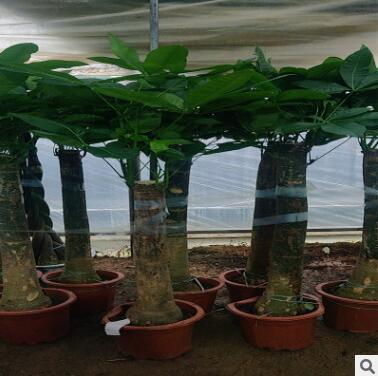 发财树盆栽大室内客厅办公室四季常青植物开业招财发才树大型绿植