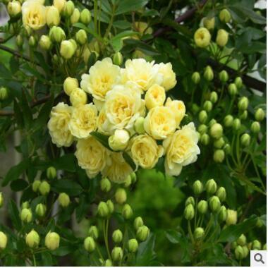 木香花苗黄白木香七里香十里香蔷薇藤本花苗香味攀缘爬藤植物花