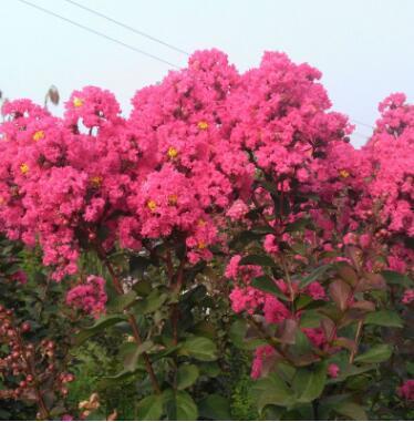 四季红火箭美国红火球紫薇花速生百日红树苗小苗庭院盆栽老桩