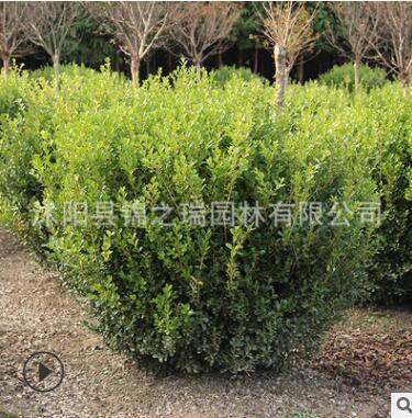 大叶黄杨球批发色块绿篱四季常青行道美化环境净化空气大叶黄杨球