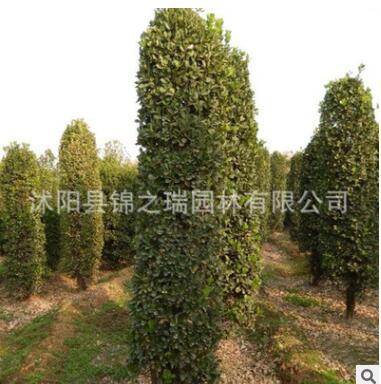 供应绿化苗木 瓜子黄杨柱 工程绿化装饰 瓜子黄杨柱苗木绿化