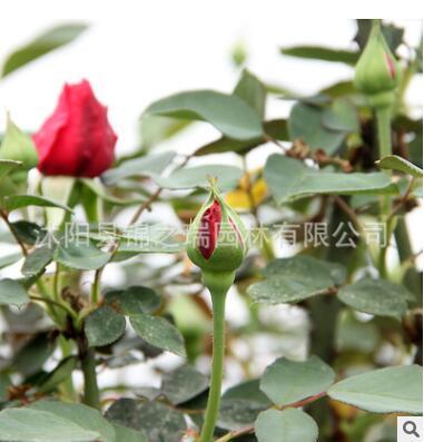 嫁接老桩树状月季批发 室内盆栽庭院阳台树桩月季 浓香四季开花