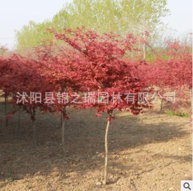 日本红枫树苗批发工程绿化苗木 行道风景树园林盆景