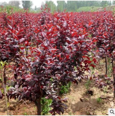 批发直销易成活紫叶李规格多样质量保障 带土球发货紫叶李
