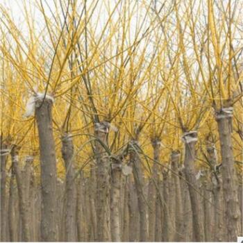 金枝槐品种