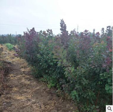 苗圃供应批发红栌苗 长期发货长势旺盛行道园林红栌苗