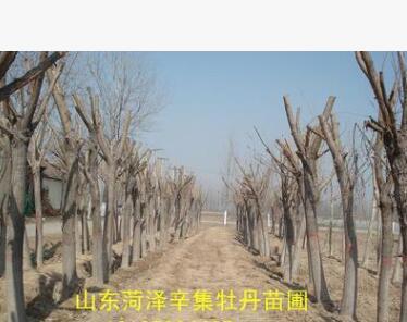 绿化树木 垂柳柳树 菏泽苗圃