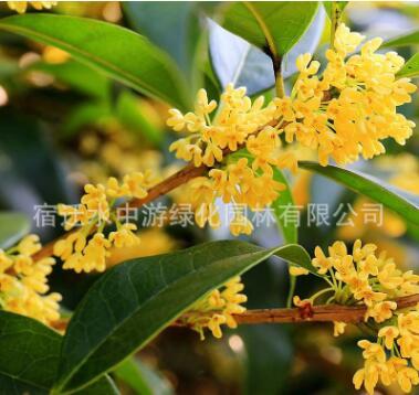 基地直销桂花树绿化花木庭院观赏气味芳香规格齐全