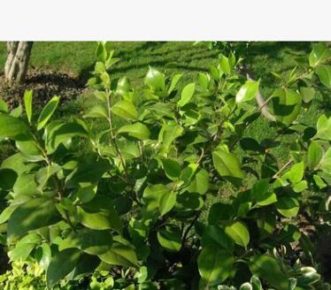 茶花苗 批发工程 道路绿化 盆栽花卉 盆景