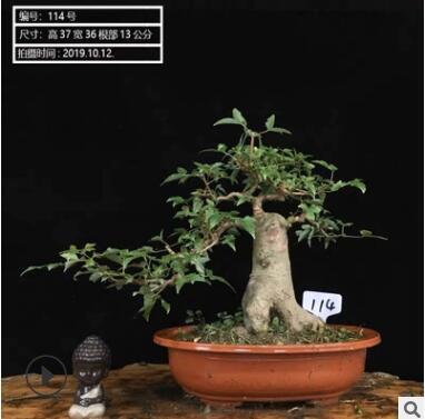 日本唐枫小叶红芽三角枫盆景素材