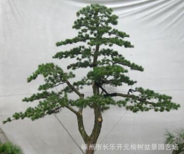 供应树木盆景 绿化造型罗汉松 五针松 榆树 庭院景观大树