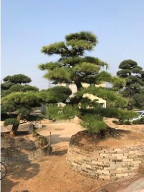 黑松盆景 造型黑松 日本黑松盆景 精品风景树 产的福建