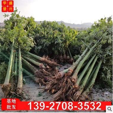 美丽异木棉 广东美人树 木棉基地批发 土球包装车 市政行道树