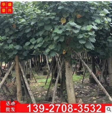 弓背树 广东黄槿树基地供应各种规格