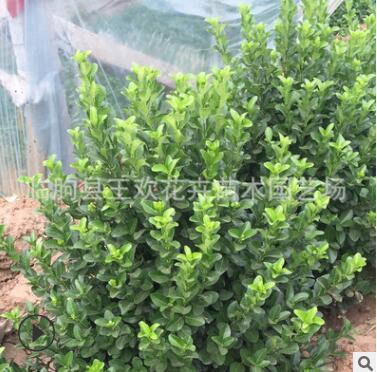 绿篱工程苗 常年绿化胶东卫矛