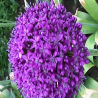 大花葱,荷兰进口,高80—100cm,花紫红色,非常艳丽,球形,直径12—20cm,有天然的艺术观赏价值