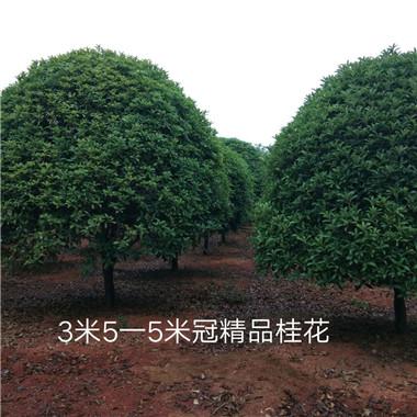 3米5—5米冠精品桂花