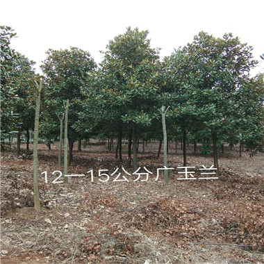12—15公分广玉兰
