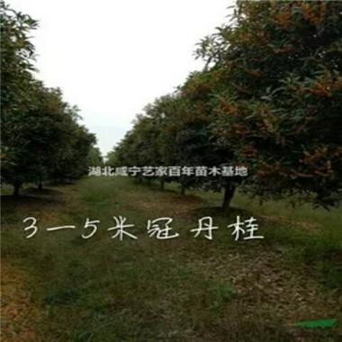3—5米冠丹桂