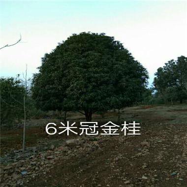 6米冠金桂