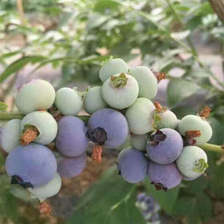 蓝莓苗产量 3年生蓝莓苗缓苗 布里吉塔蓝莓苗